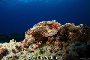 Scorpion fish @ Sunset Dive Nikon D80 15mm lens. Shoot f/... by Pedro Padilla 